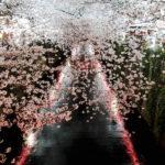 2017年東京の桜・花見「千鳥ヶ淵、目黒川などの『桜』の洪水が凄い…」